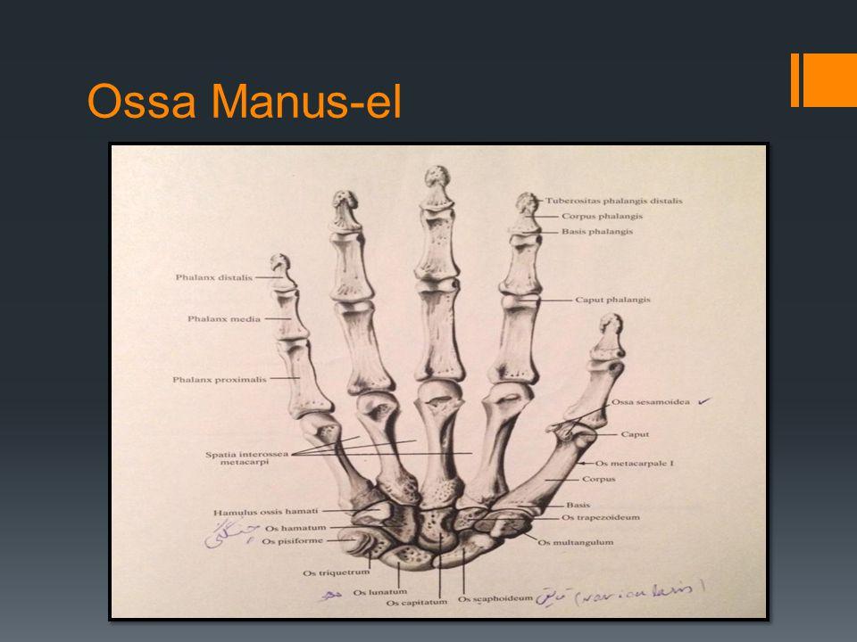 Ossa Manus-el