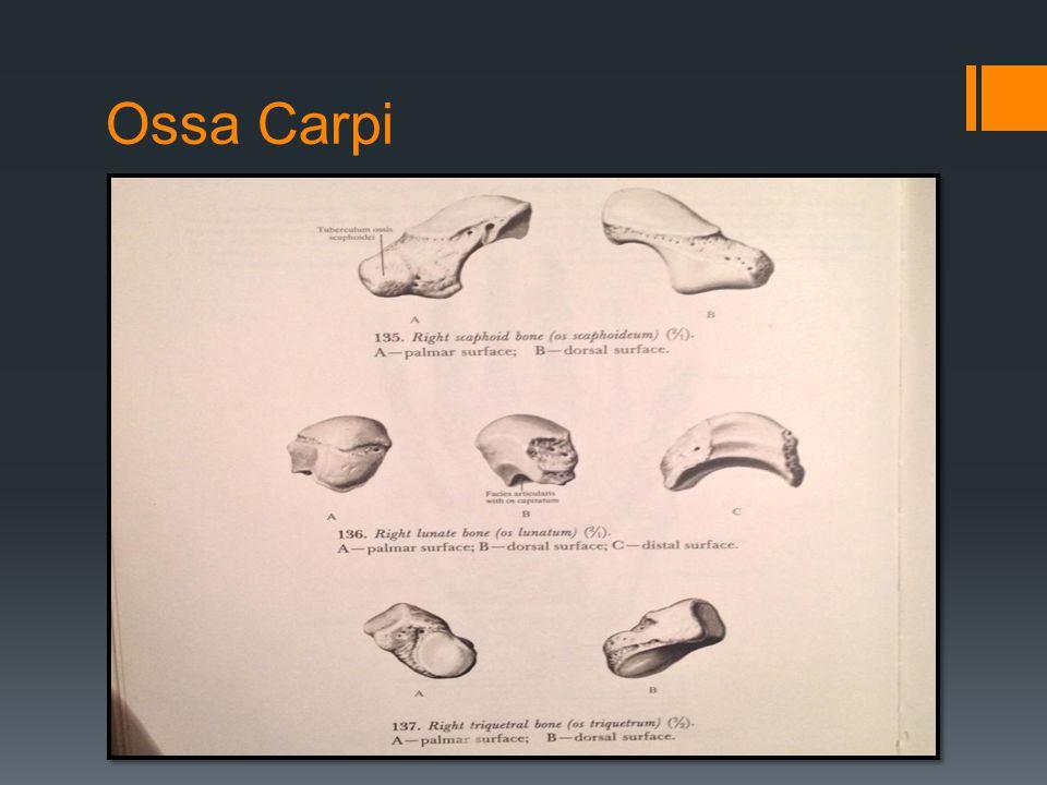 Ossa Carpi
