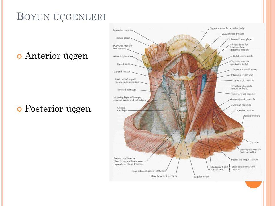 Boyun üçgenleri Anterior üçgen Posterior üçgen