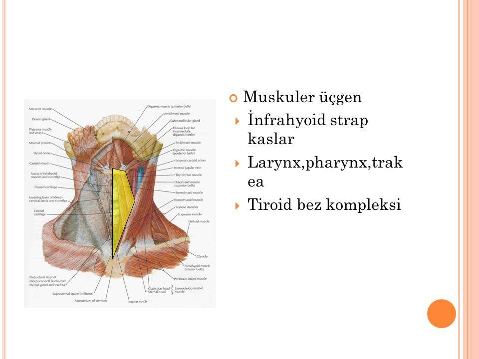 Muskuler üçgen İnfrahyoid strap kaslar Larynx,pharynx,trak ea Tiroid bez kompleksi