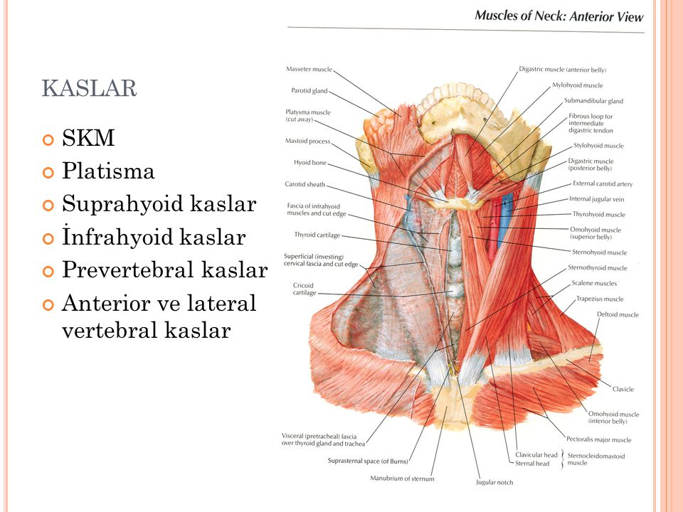kaslar SKM Platisma Suprahyoid kaslar İnfrahyoid kaslar