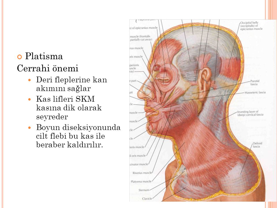Platisma Cerrahi önemi Deri fleplerine kan akımını sağlar