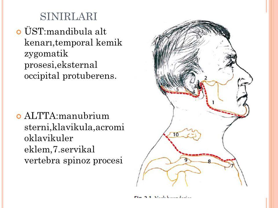 SINIRLARI ÜST:mandibula alt kenarı,temporal kemik zygomatik prosesi,eksternal occipital protuberens.
