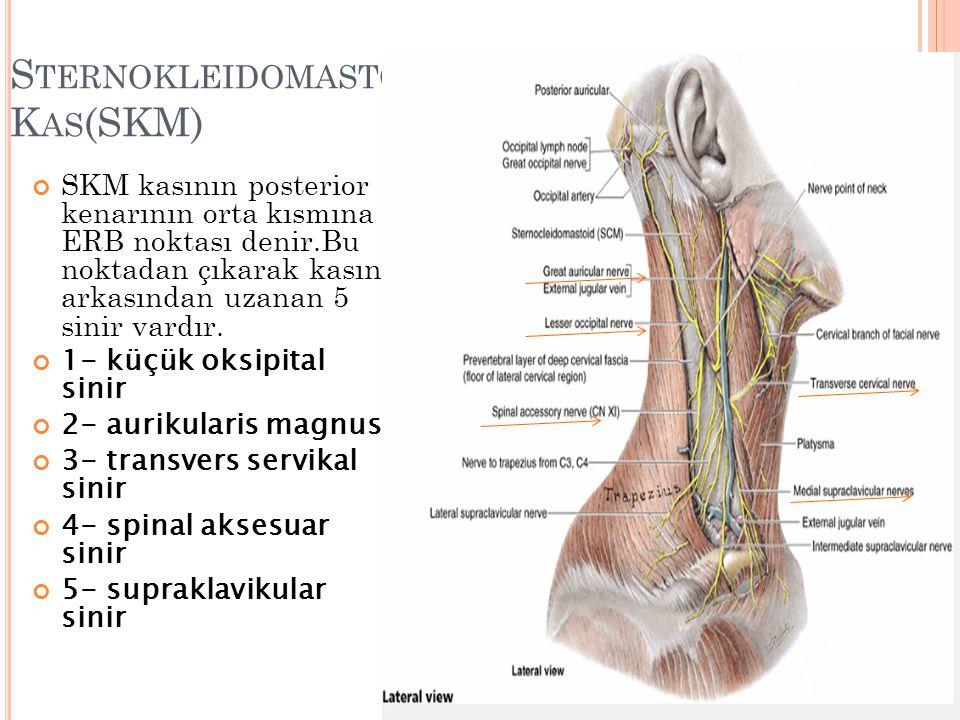 Sternokleidomastoid Kas(SKM)