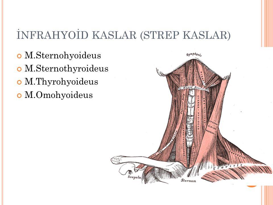 İNFRAHYOİD KASLAR (STREP KASLAR)