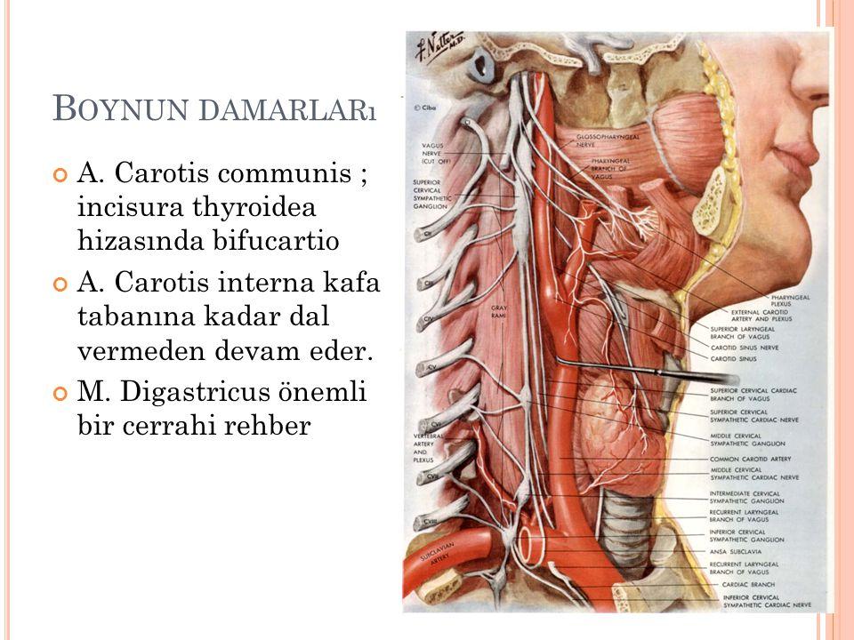 Boynun damarları A. Carotis communis ; incisura thyroidea hizasında bifucartio. A. Carotis interna kafa tabanına kadar dal vermeden devam eder.