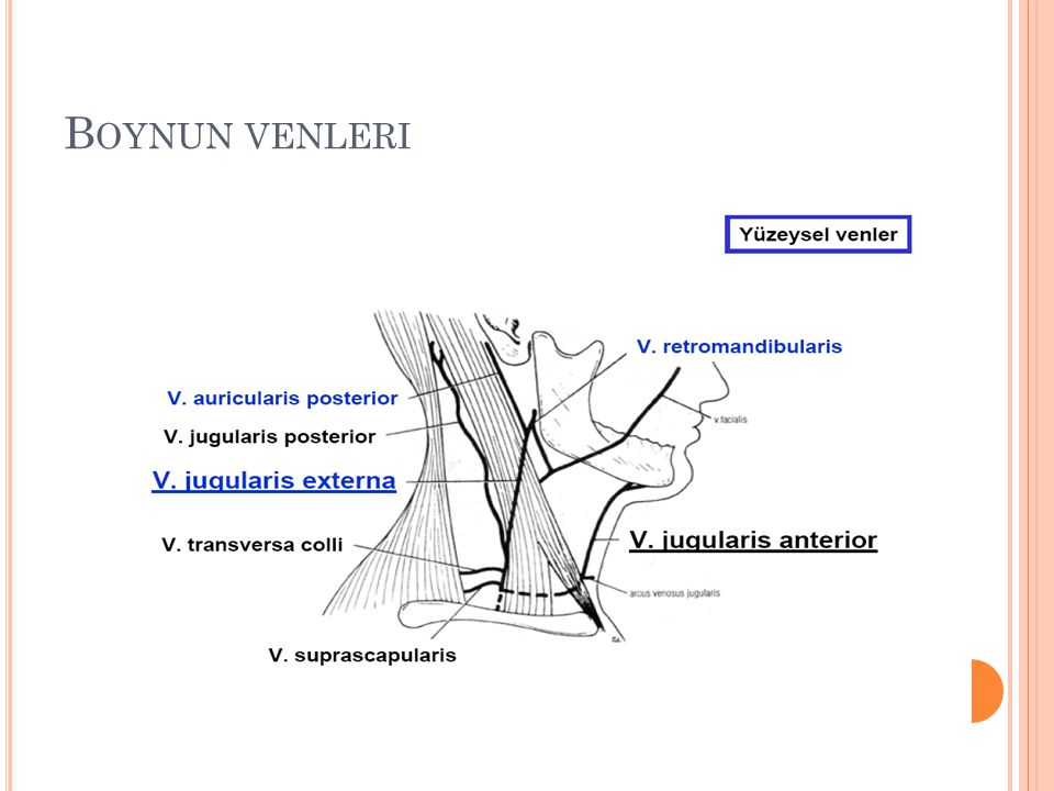 Boynun venleri