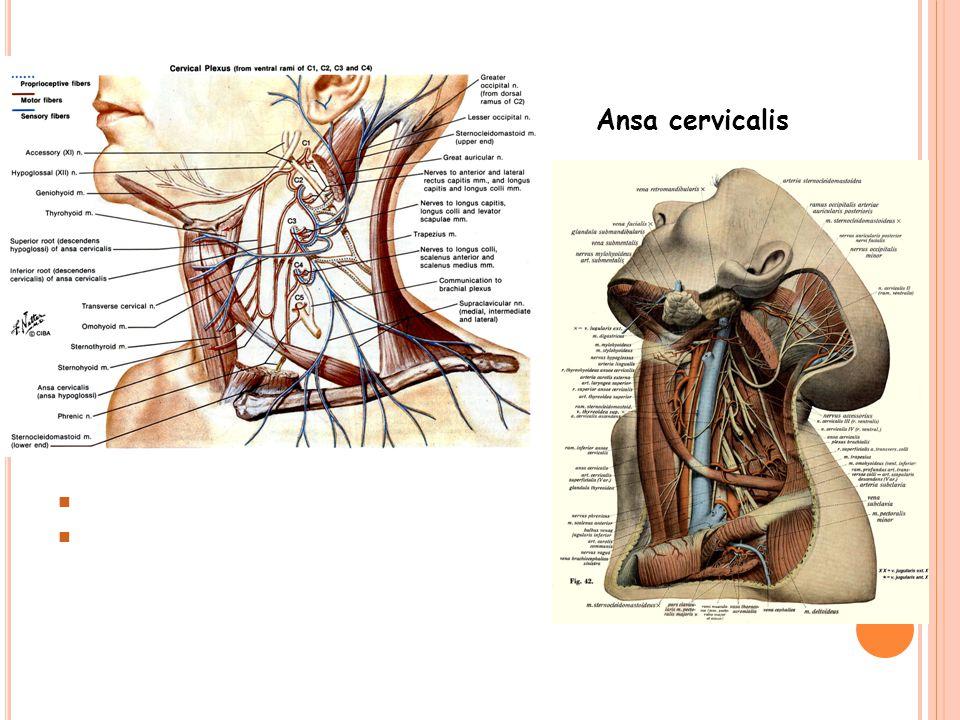 Ansa cervicalis Radix superior ansa cervicalis (C1)