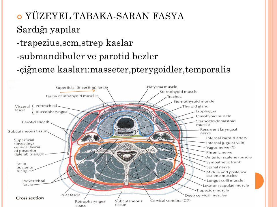YÜZEYEL TABAKA-SARAN FASYA Sardığı yapılar -trapezius,scm,strep kaslar