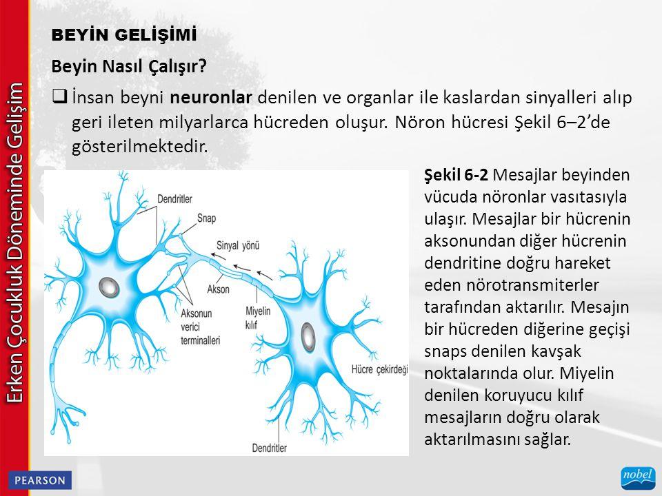 BEYİN GELİŞİMİ Beyin Nasıl Çalışır