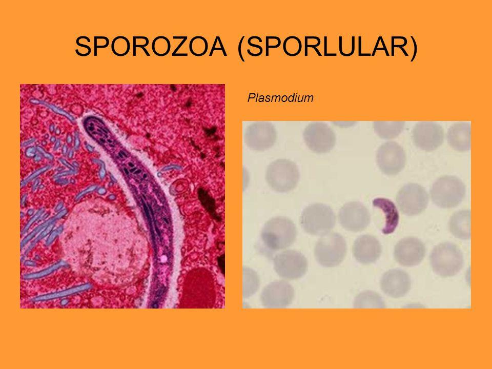 SPOROZOA (SPORLULAR) Plasmodium