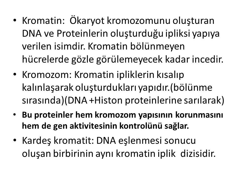 Kromatin: Ökaryot kromozomunu oluşturan DNA ve Proteinlerin oluşturduğu ipliksi yapıya verilen isimdir. Kromatin bölünmeyen hücrelerde gözle görülemeyecek kadar incedir.