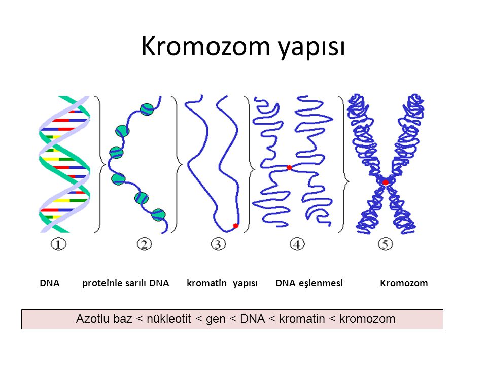 Kromozom yapısı DNA proteinle sarılı DNA kromatin yapısı DNA eşlenmesi Kromozom.