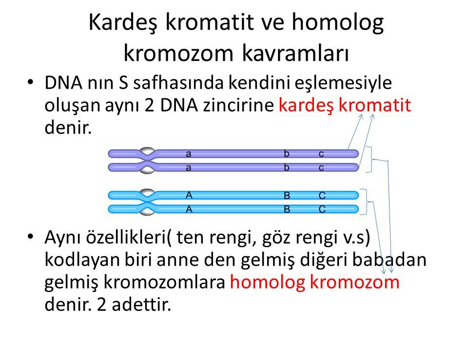 Kardeş kromatit ve homolog kromozom kavramları