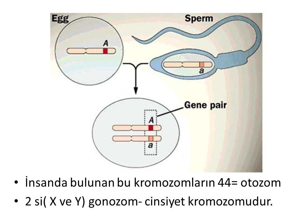 İnsanda bulunan bu kromozomların 44= otozom