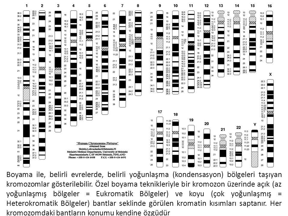 Boyama ile, belirli evrelerde, belirli yoğunlaşma (kondensasyon) bölgeleri taşıyan kromozomlar gösterilebilir.