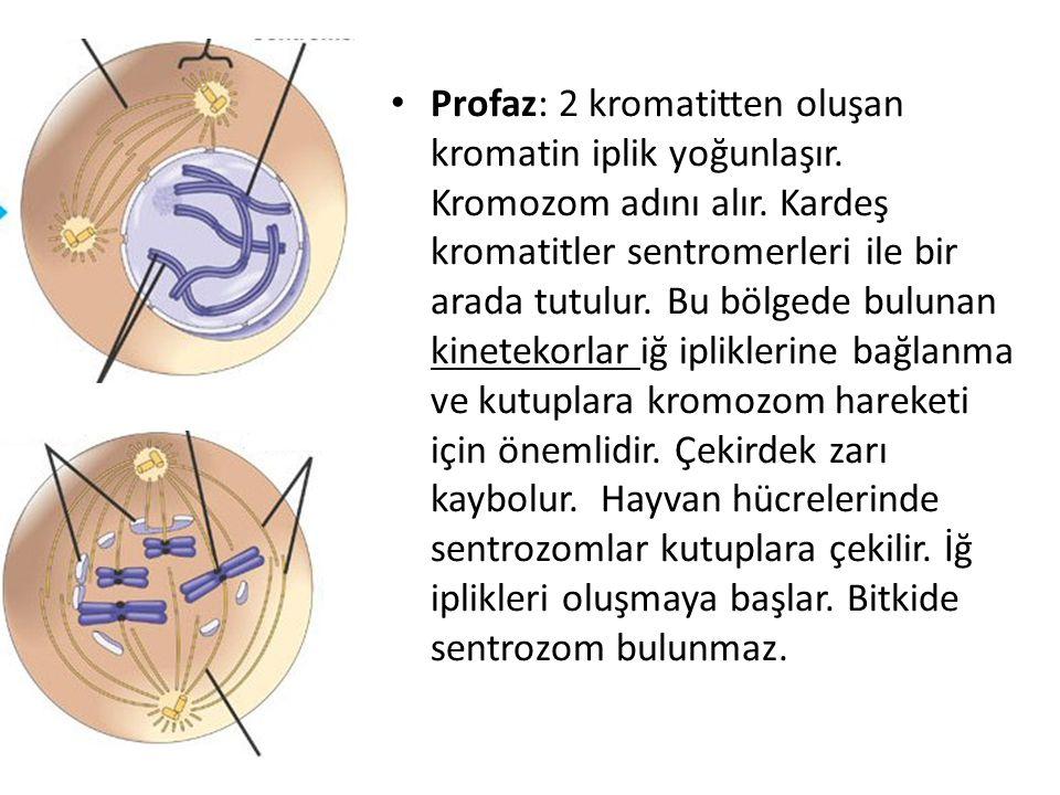 Profaz: 2 kromatitten oluşan kromatin iplik yoğunlaşır