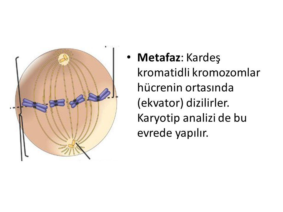 Metafaz: Kardeş kromatidli kromozomlar hücrenin ortasında (ekvator) dizilirler.