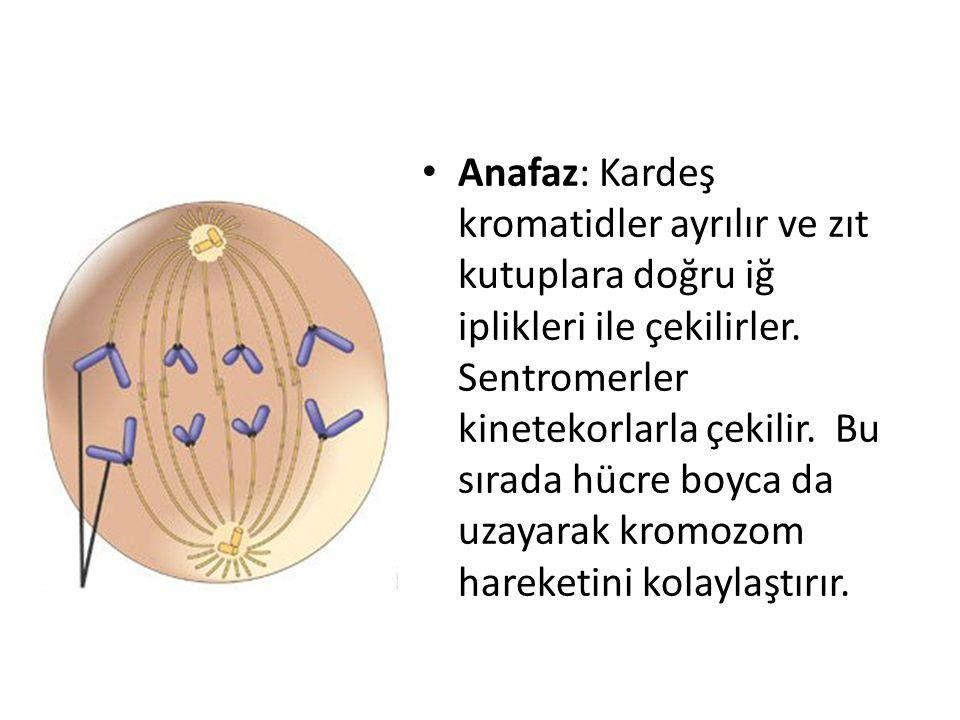Anafaz: Kardeş kromatidler ayrılır ve zıt kutuplara doğru iğ iplikleri ile çekilirler.
