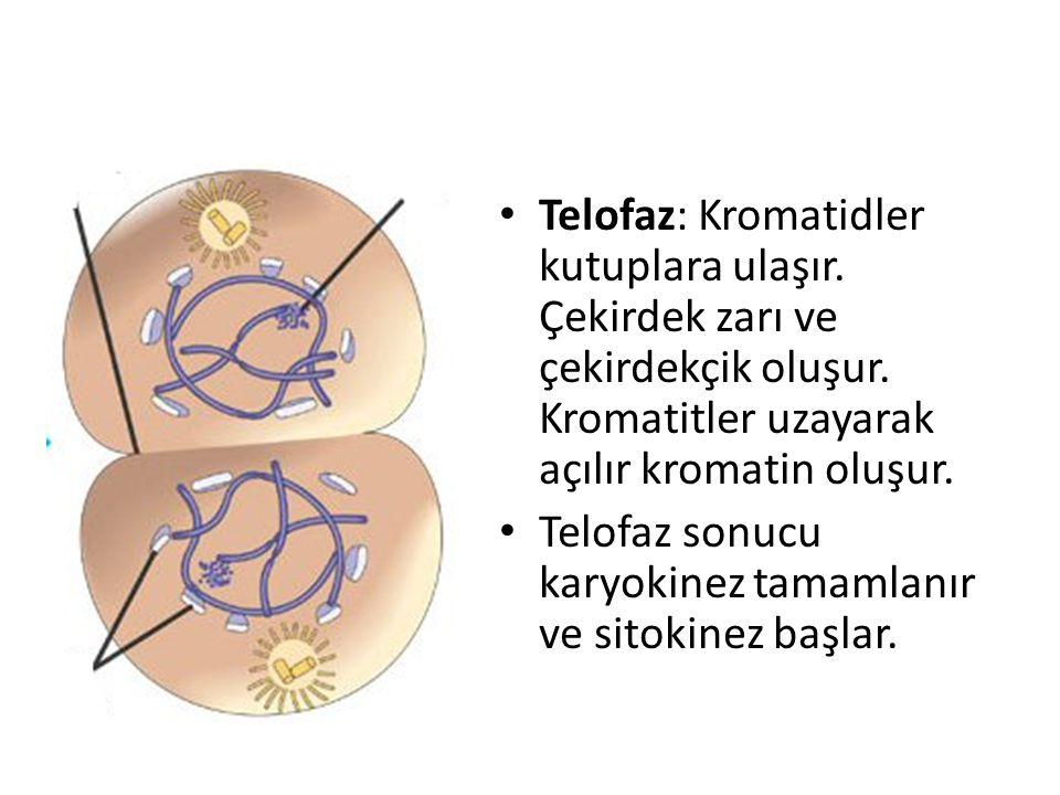 Telofaz: Kromatidler kutuplara ulaşır