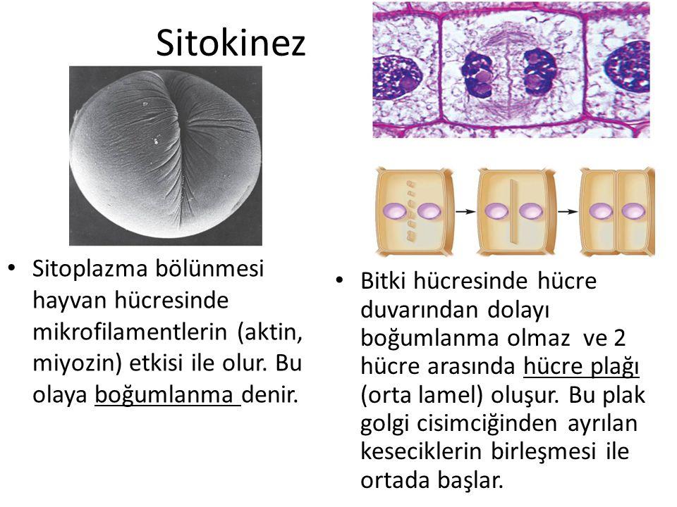 Sitokinez Sitoplazma bölünmesi hayvan hücresinde mikrofilamentlerin (aktin, miyozin) etkisi ile olur. Bu olaya boğumlanma denir.