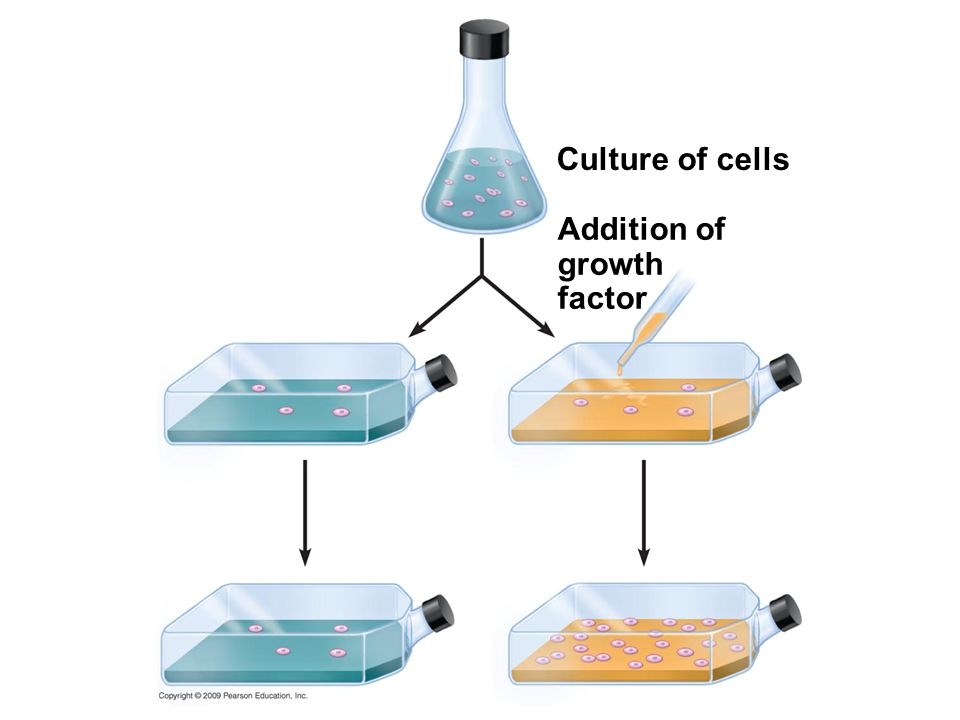 Culture of cells Addition of growth factor