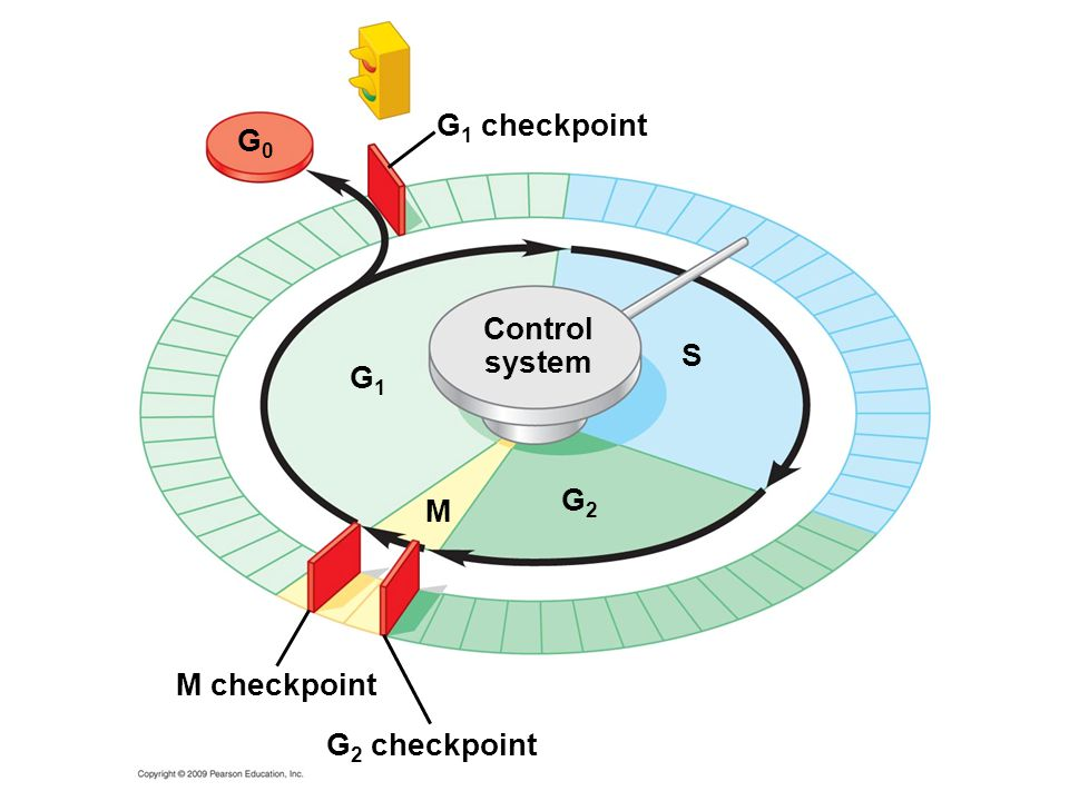 G1 checkpoint G0 Control system S G1 G2 M M checkpoint G2 checkpoint