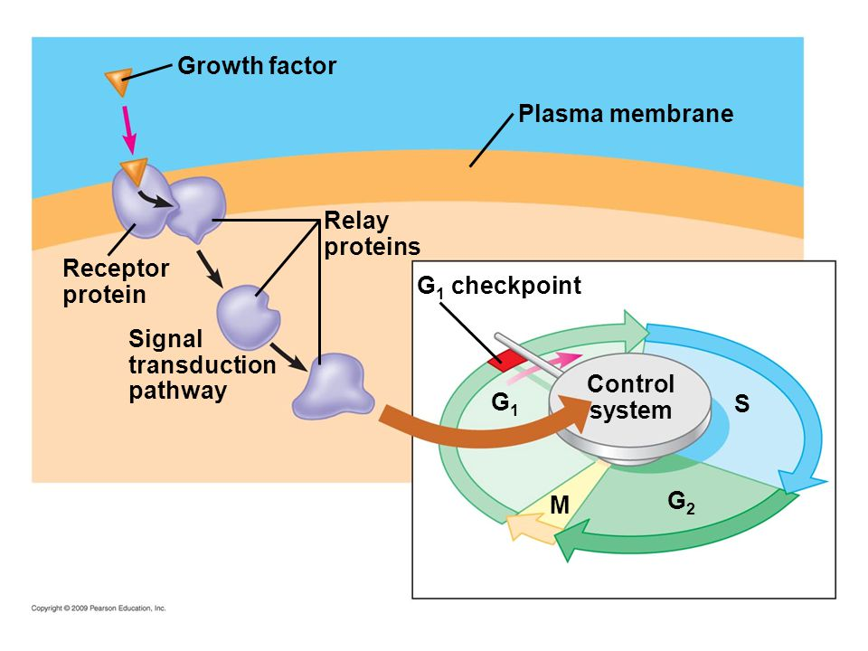 Growth factor Plasma membrane Relay proteins Receptor protein