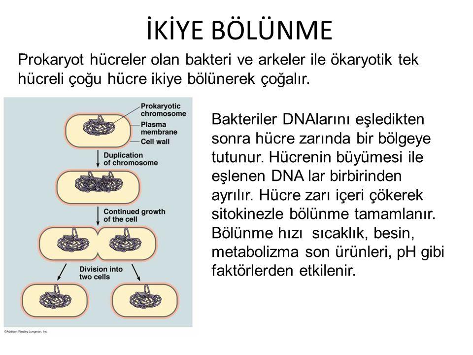 İKİYE BÖLÜNME Prokaryot hücreler olan bakteri ve arkeler ile ökaryotik tek hücreli çoğu hücre ikiye bölünerek çoğalır.