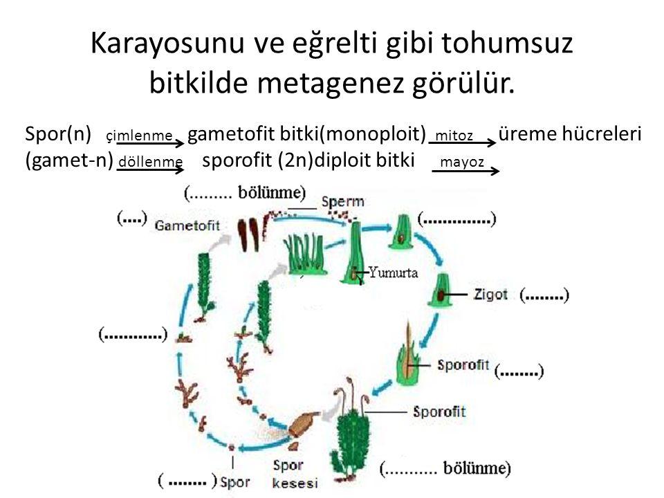 Karayosunu ve eğrelti gibi tohumsuz bitkilde metagenez görülür.