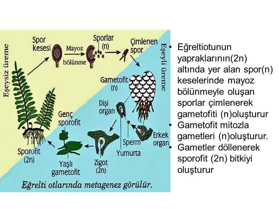 Eğreltiotunun yapraklarının(2n) altında yer alan spor(n) keselerinde mayoz bölünmeyle oluşan sporlar çimlenerek gametofiti (n)oluşturur