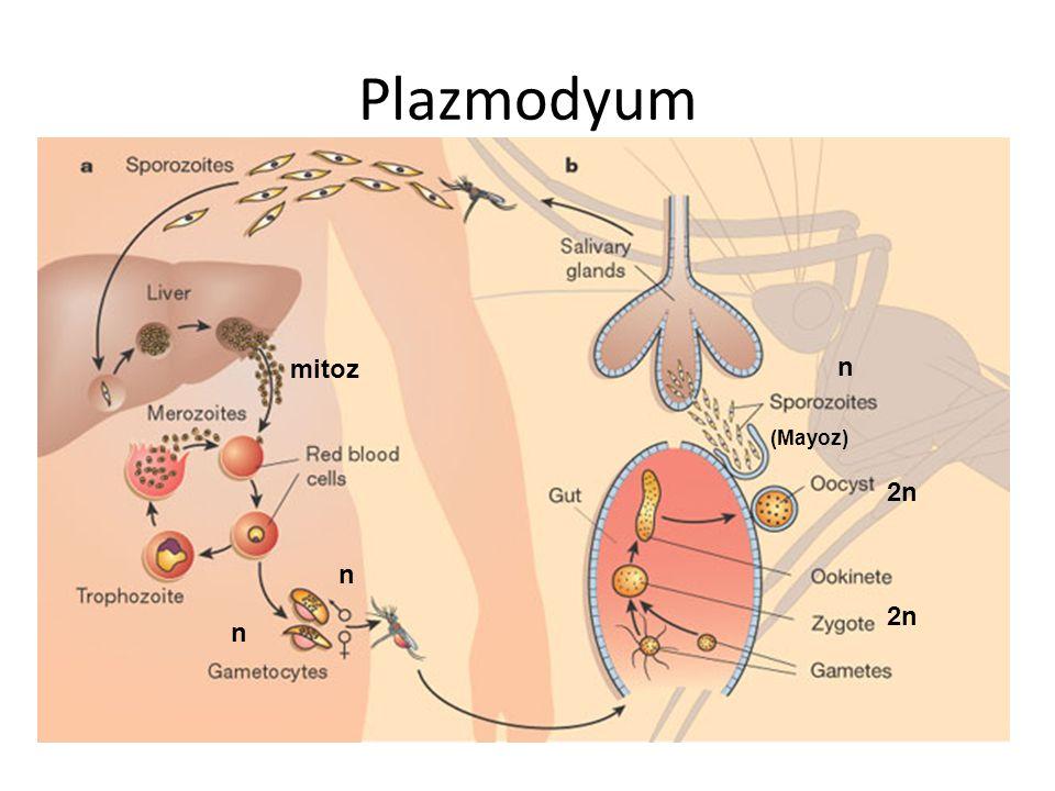 Plazmodyum mitoz n (Mayoz) 2n n 2n n