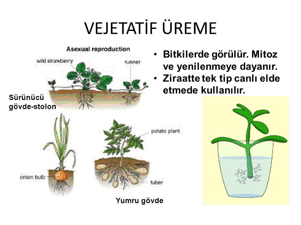 VEJETATİF ÜREME Bitkilerde görülür. Mitoz ve yenilenmeye dayanır.