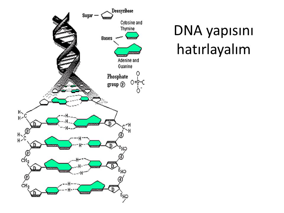 DNA yapısını hatırlayalım