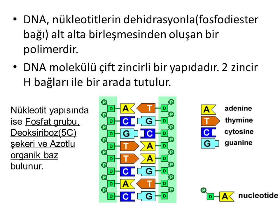 DNA, nükleotitlerin dehidrasyonla(fosfodiester bağı) alt alta birleşmesinden oluşan bir polimerdir.
