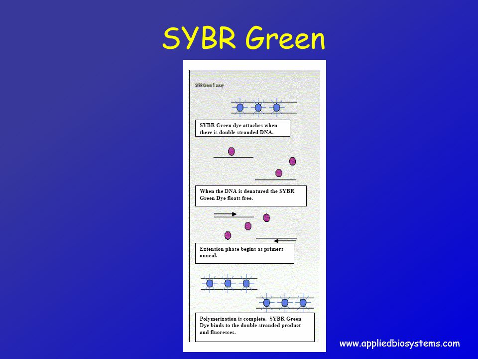 SYBR Green www.appliedbiosystems.com