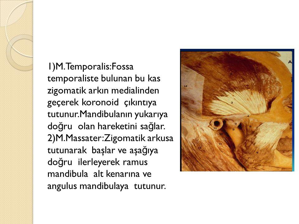 1)M.Temporalis:Fossa temporaliste bulunan bu kas zigomatik arkın medialinden geçerek koronoid çıkıntıya tutunur.Mandibulanın yukarıya doğru olan hareketini sağlar.