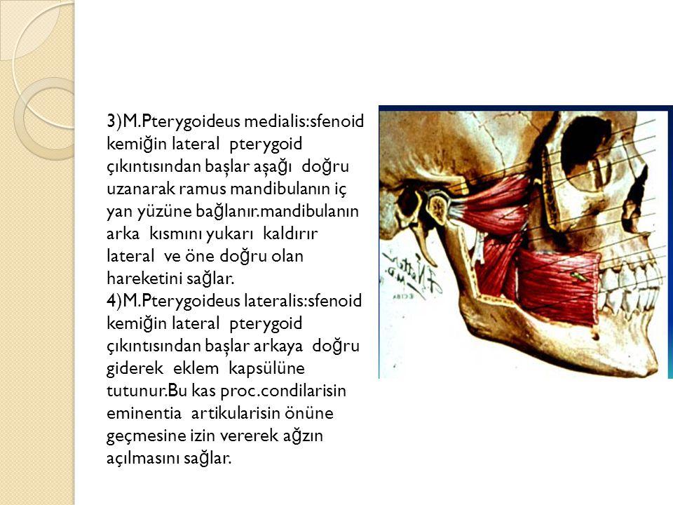3)M.Pterygoideus medialis:sfenoid kemiğin lateral pterygoid çıkıntısından başlar aşağı doğru uzanarak ramus mandibulanın iç yan yüzüne bağlanır.mandibulanın arka kısmını yukarı kaldırır lateral ve öne doğru olan hareketini sağlar.