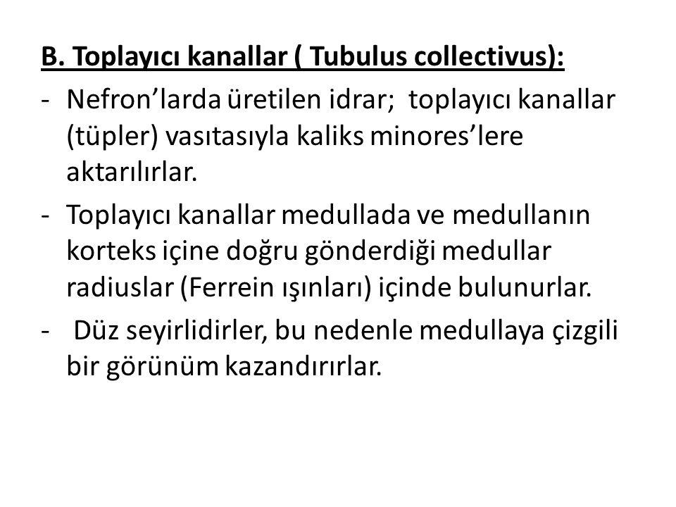 B. Toplayıcı kanallar ( Tubulus collectivus):