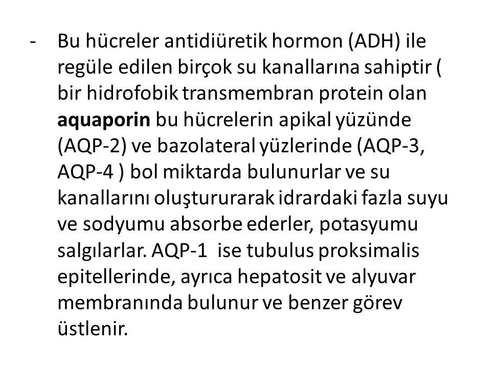 Bu hücreler antidiüretik hormon (ADH) ile regüle edilen birçok su kanallarına sahiptir ( bir hidrofobik transmembran protein olan aquaporin bu hücrelerin apikal yüzünde (AQP-2) ve bazolateral yüzlerinde (AQP-3, AQP-4 ) bol miktarda bulunurlar ve su kanallarını oluştururarak idrardaki fazla suyu ve sodyumu absorbe ederler, potasyumu salgılarlar.