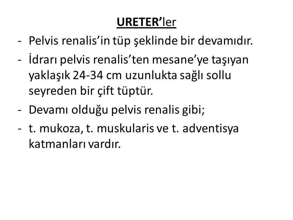 URETER'ler Pelvis renalis'in tüp şeklinde bir devamıdır.