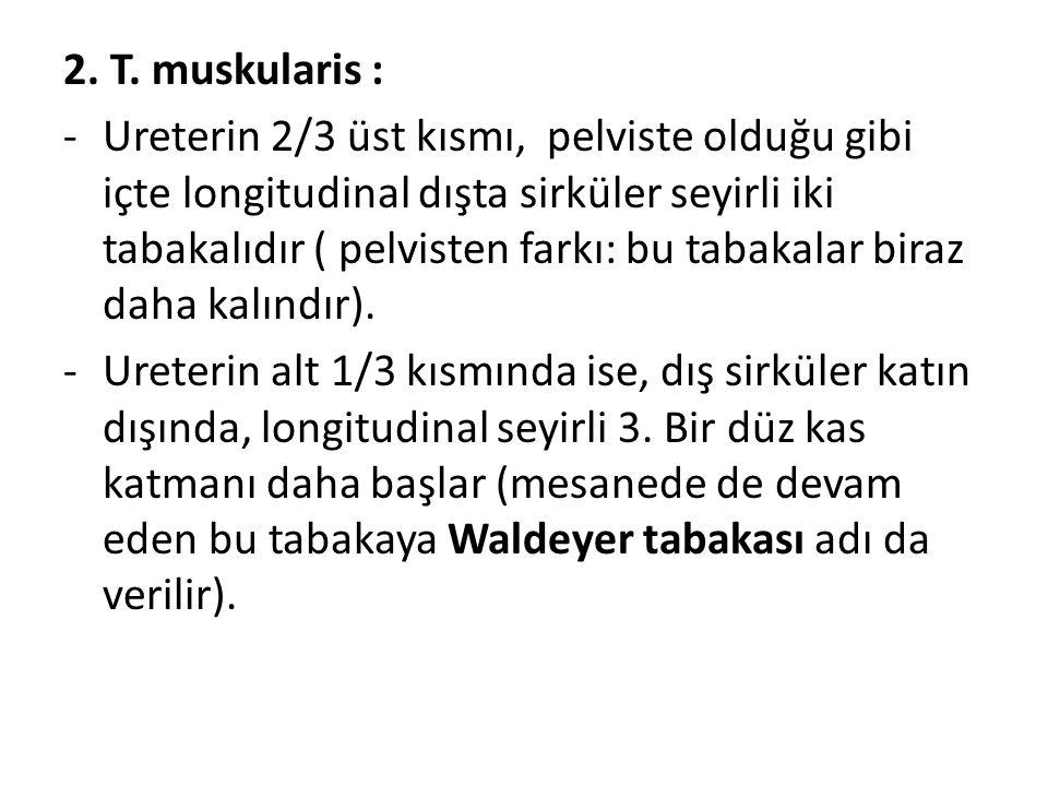 2. T. muskularis :