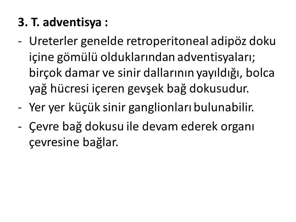 3. T. adventisya :