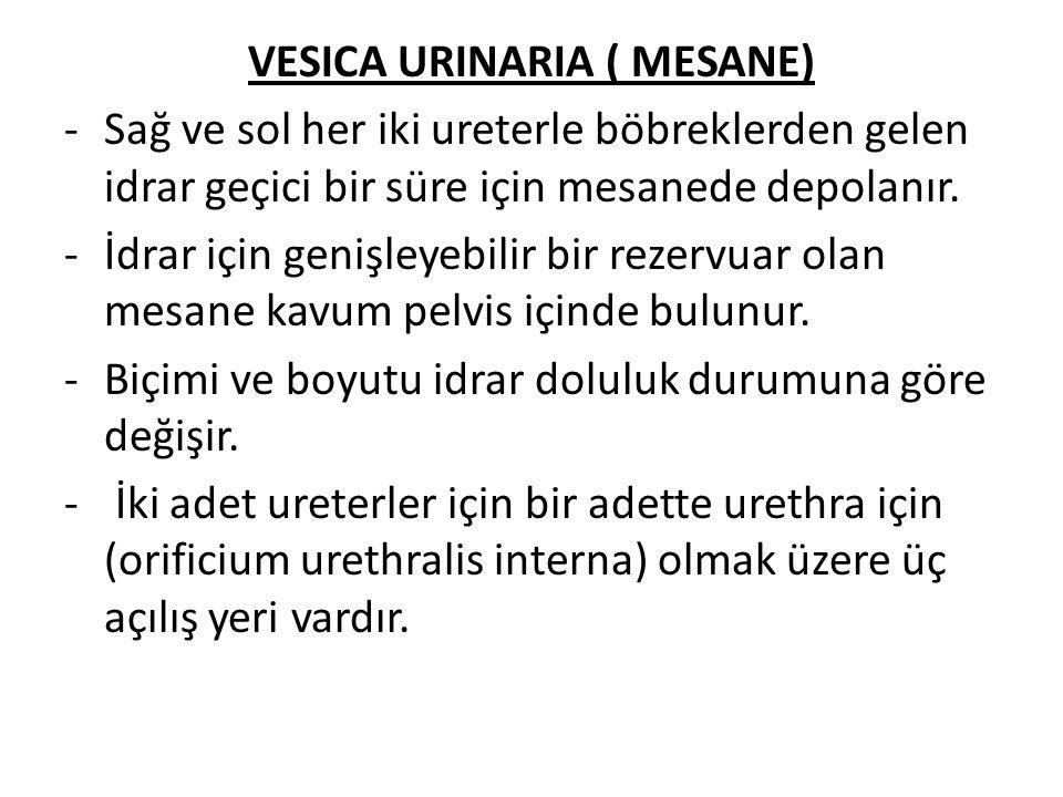 VESICA URINARIA ( MESANE)