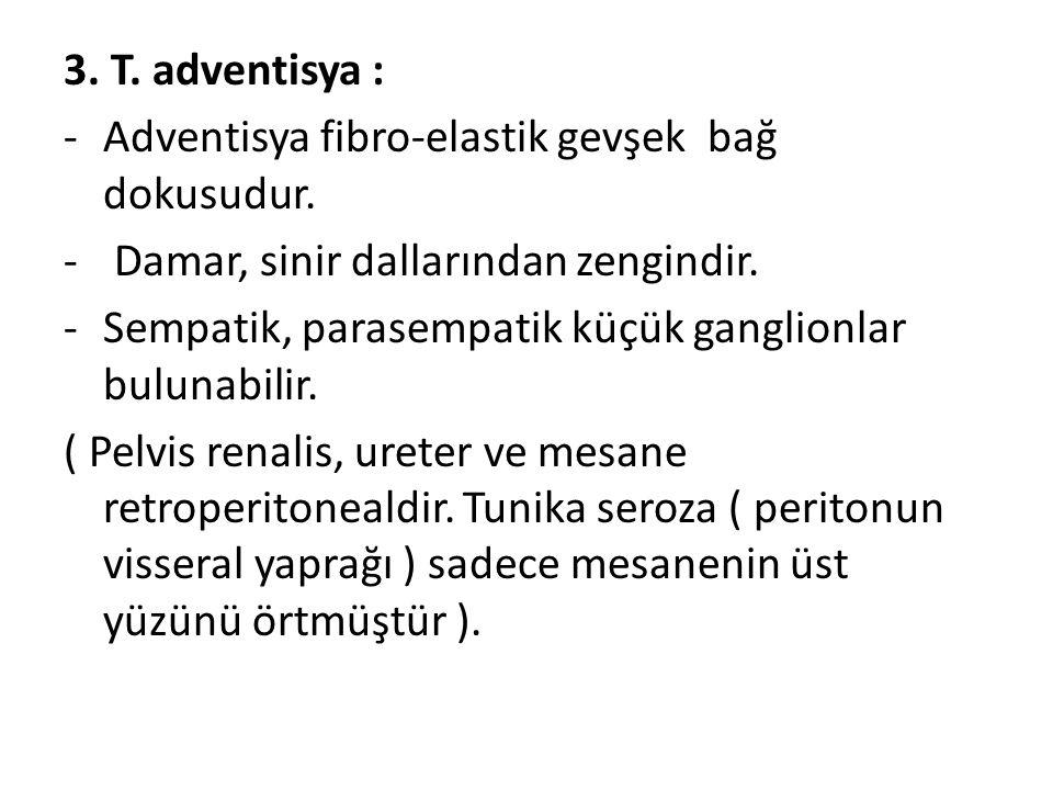 3. T. adventisya : Adventisya fibro-elastik gevşek bağ dokusudur. Damar, sinir dallarından zengindir.