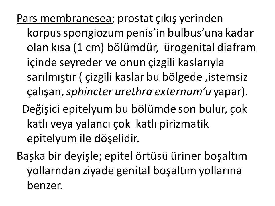 Pars membranesea; prostat çıkış yerinden korpus spongiozum penis'in bulbus'una kadar olan kısa (1 cm) bölümdür, ürogenital diafram içinde seyreder ve onun çizgili kaslarıyla sarılmıştır ( çizgili kaslar bu bölgede ,istemsiz çalışan, sphincter urethra externum'u yapar).