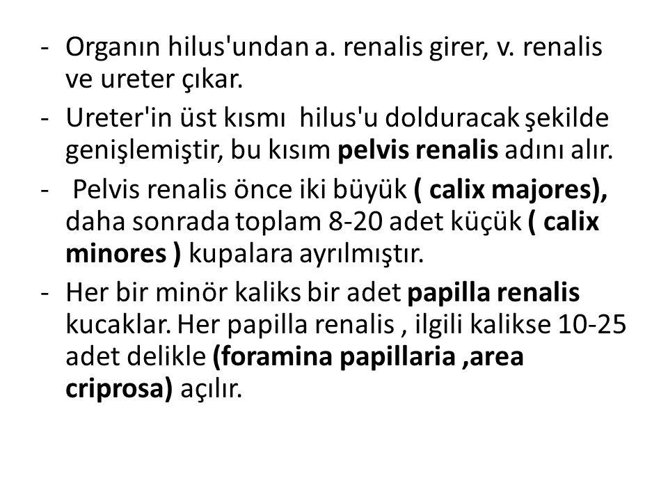 Organın hilus undan a. renalis girer, v. renalis ve ureter çıkar.