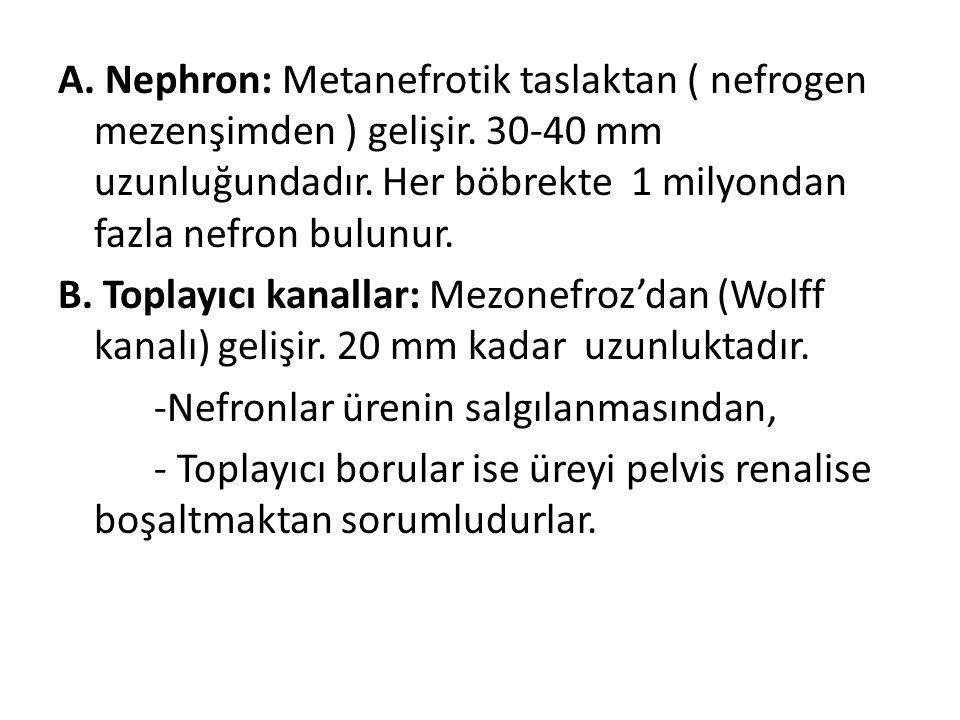 A. Nephron: Metanefrotik taslaktan ( nefrogen mezenşimden ) gelişir