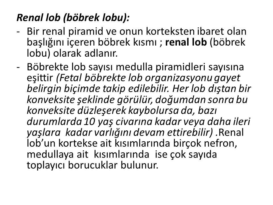 Renal lob (böbrek lobu):