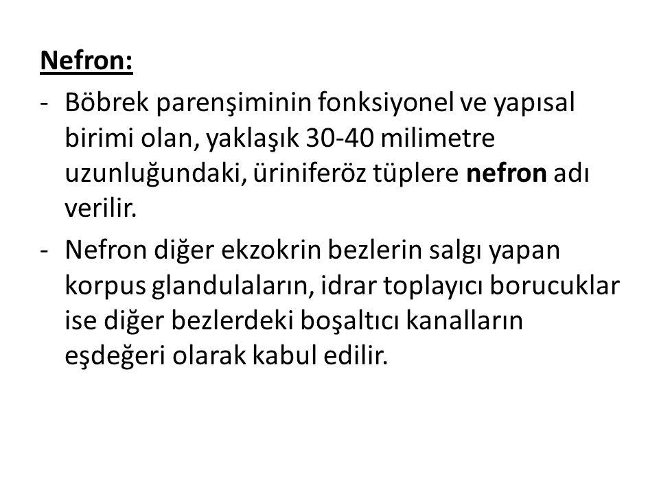 Nefron: Böbrek parenşiminin fonksiyonel ve yapısal birimi olan, yaklaşık 30-40 milimetre uzunluğundaki, üriniferöz tüplere nefron adı verilir.